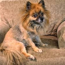 the world u0027s best photos of haircut and pomeranian flickr hive mind