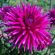 buy semi cactus dahlia tuber dahlia purple gem delivery by crocus