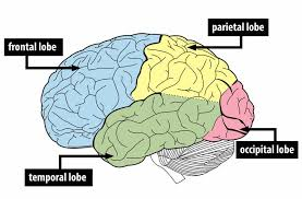 What Portion Of The Brain Controls Respiration The Brain And Nervous System Noba