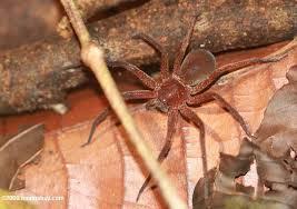Araignée rouge dans ARAIGNEE