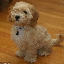 bichon frise for sale cheap is the cava poo chon the perfect dog the smart healthy and