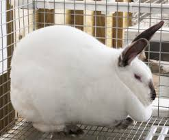 Rabbit Hutch Plans For Meat Rabbits 10 Best Meat Rabbit Breeds For Homesteads The Self Sufficient Living