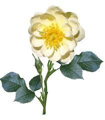 white flower stem single free photo on pixabay