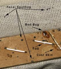 bed bug sheddings bed bug cues and miscues bed bug mutts