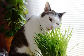 plants poisonous to cats infographic best of my cat