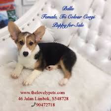 sold tri color corgi female puppy hougang punggol sengkang
