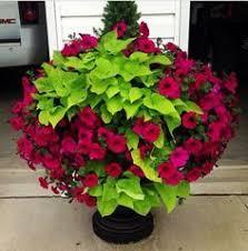 Summer Flower Garden Ideas - sweet potato vine with wave petunias and a dwarf alberta spruce
