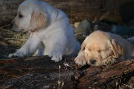 labrador retriever puppies sale varian kennels
