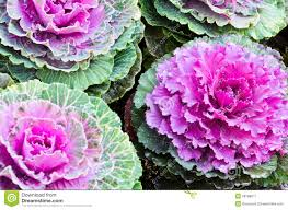 purple ornamental kale royalty free stock photography image