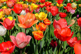 Images Of Tulip Flowers - free photo tulips flowers bloom colorful free image on