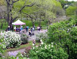 Harvard Yard Map Lilac Sunday Arnold Arboretum