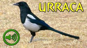 imagenes del animal urraca canto de la urraca pica pica youtube