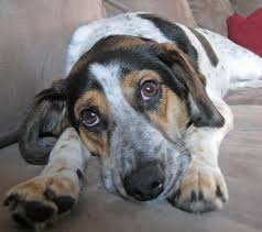 bluetick coonhound jack russell mix frank the beagle mix dogs daily puppy