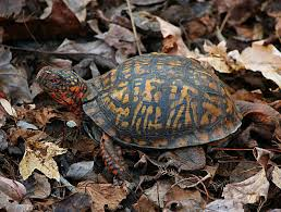 how to care for pet eastern box turtles