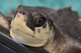sea turtles rescued off cape cod moved to florida keys boston herald