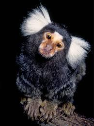 talkative marmoset monkeys take turns u2013 national geographic