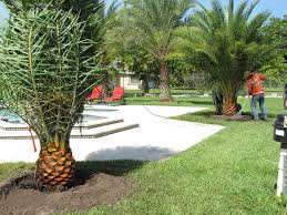 planting sylvester date palm trees in our backyard red ostelinda
