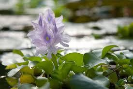 water hyacinth care u2013 how to grow water hyacinth plants