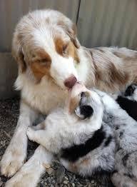 rocking k australian shepherds 80 best fur babies images on pinterest animals adorable animals