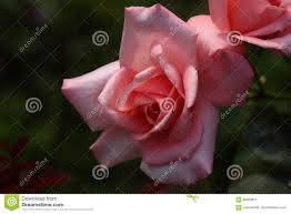 beautiful rose flower in the garden princess aiko stock photo