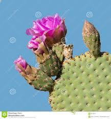 beavertail pricklypear cactus in flower anza borrego state par