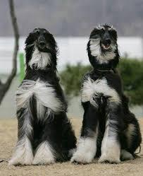 afghan hound breed afghan hounds afghan hound dog breeds dogs pinterest