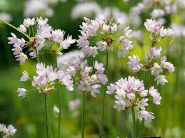 allium flowers allium roseum rosy garlic