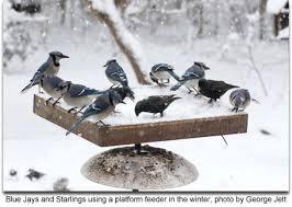 How To Attract Indigo Buntings To Your Backyard Feeding Wild Birds Maryland U0027s Wild Acres