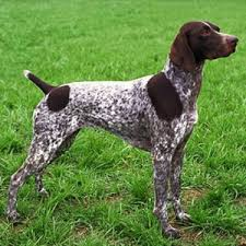 australian shepherd vs brittany comparison of brittany spaniel dog vs shorthaired pointer dog