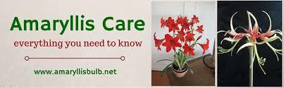 care of amaryllis bulbs care of amaryllis bulbs