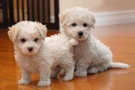 bichon frise intelligence maltichon info temperament training puppies pictures