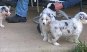 australian shepherd yorkie puppies dogs u0026 puppies for sale classifieds in durban yorkie puppies