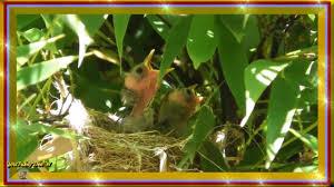 p2 baby silvereyes days 6 to 12 bird watching in my backyard