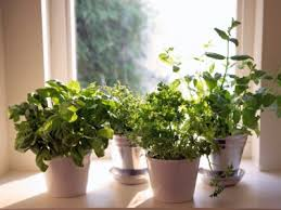 Herb Garden Winter - 7 herbs you can grow indoors year round off the grid news