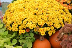 Picture Of Mums The Flowers - caring for your mums make sure they come back full every year