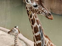 dallas zoo u0027s baby giraffe to make his public debut southern living