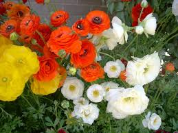 ranunculus flower ranunculus flower power for winters