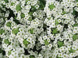 alyssum flowers lobularia maritima