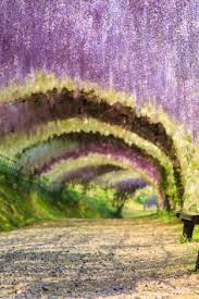 japan flower tunnel not many people know about this hidden gem the wisteria flower