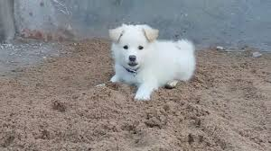 american eskimo dog price in kolkata my indian spitz youtube