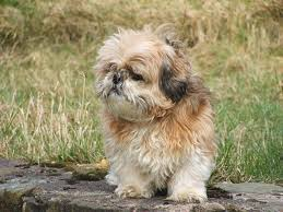 shih tzu with curly hair 3 signs your shih tzu is overweight iheartdogs com
