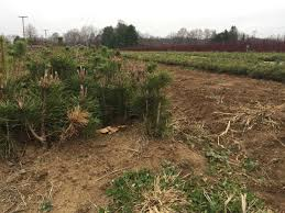 growing tradition west virginia grown christmas trees are in