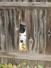 my neighbor u0027s dogs bring me their toys through a hole in our fence