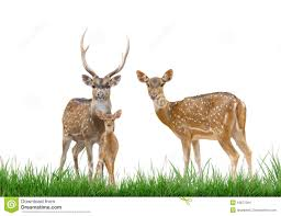 axis deer family with green grass isolated stock images image