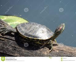 Texas Map Turtle Texas Turtle Stock Photo Image 43838412