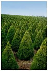 real christmas trees for sale do christmas trees go on sale black friday holidappy