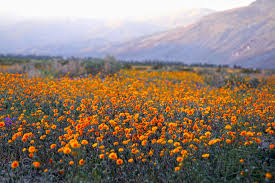 anza borrego wildflowers anza borrego desert state park borrego springs ca san diego