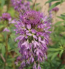 rocky mountain native plants rocky mountain bee plant seeds