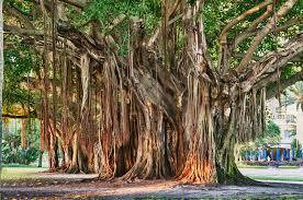 banyan tree st petersburg florida travel st