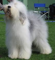 bedlington terrier shaved old english sheepdog wikipedia